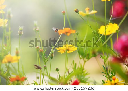 beautiful light with yellow cosmos flowers field with shallow depth of field  use as natural background,backdrop - stock photo