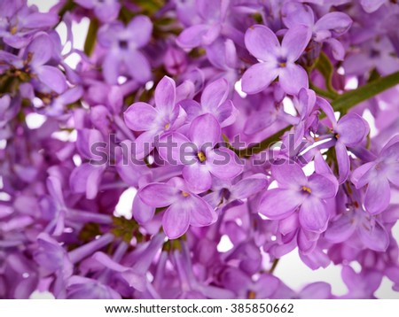 Beautiful Lilac branch  ,close-up