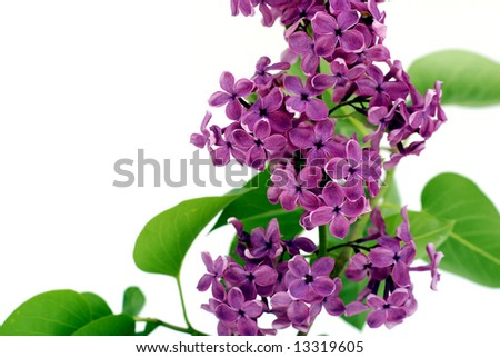 Beautiful lilac branch isolated on white - stock photo