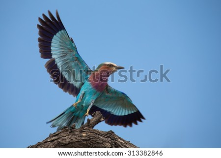 Beautiful lilac breasted roller take off from a perch to hunt for insects