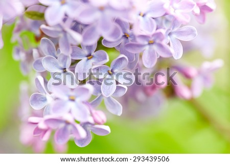Beautiful lilac flowers. Nature background