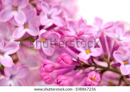 Beautiful Lilac (Syringa) Flowers Close-Up - stock photo