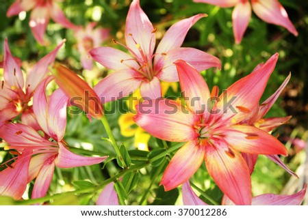 Beautiful lilies with raindrops on petals - stock photo