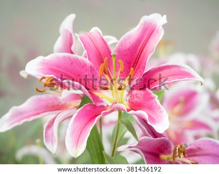 beautiful lily flower head blooming in the outdoor park