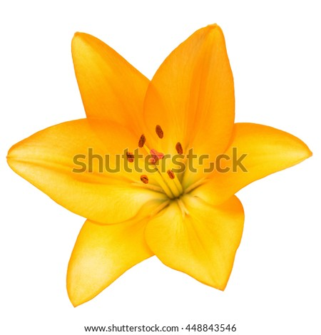 Beautiful lily flower yellow isolated on white background - stock photo