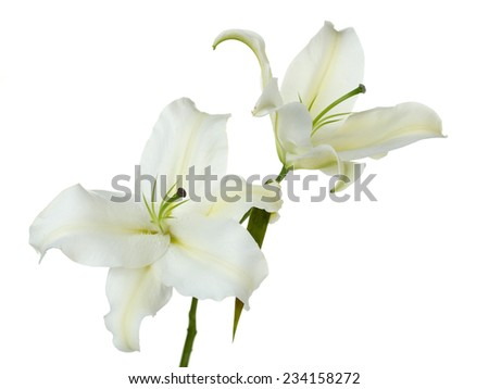 Beautiful lily isolated on white