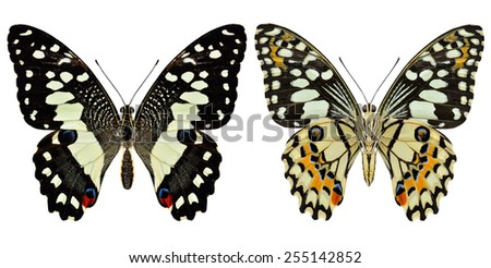Beautiful Lime butterfly both upper and lower wing in natural color profile isolated on white background - stock photo