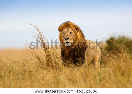 Beautiful Lion Caesar in the golden grass of Masai Mara, Kenya - stock photo