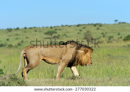 Beautiful Lion Caesar in the grass of Masai Mara, Kenya - stock photo