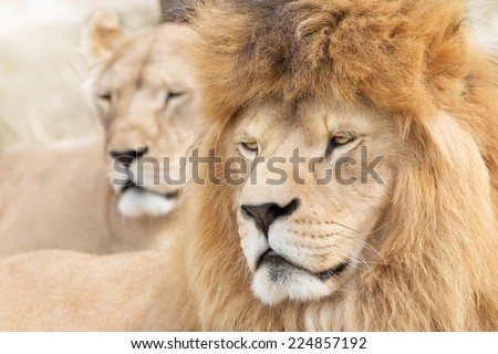 Beautiful lions - stock photo