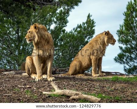 Beautiful lions in safari park, Sigean, France - stock photo