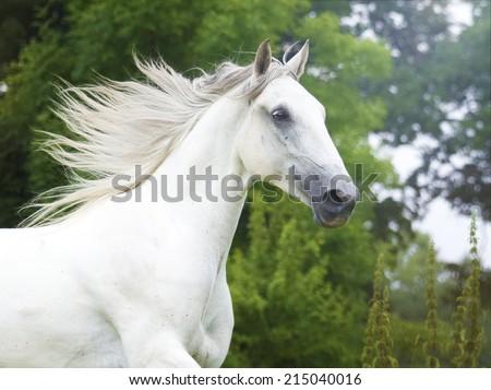 beautiful lipizzaner horse running in nature - stock photo