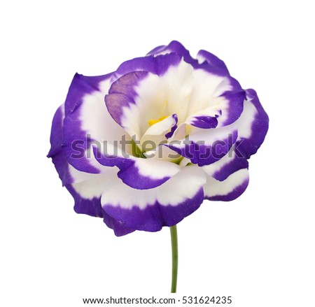 Beautiful lisianthus flower isolated on white stock photo edit now beautiful lisianthus flower isolated on white background altavistaventures Choice Image