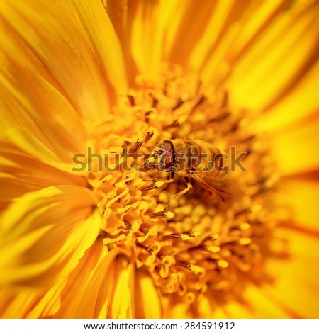 Beautiful little bee on a bright yellow gerbera flower, cute insect collects pollen from flower to honey, beauty of wild nature - stock photo