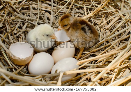 beautiful little chicken, eggs and eggshell in nest - stock photo