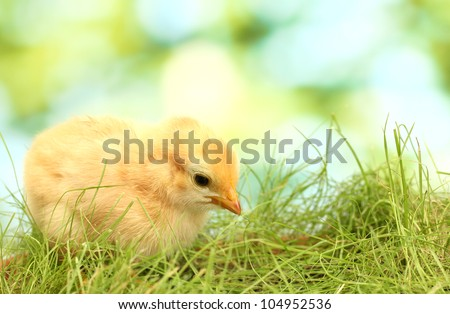 beautiful little chicken on green grass in garden - stock photo