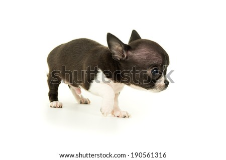 beautiful little chihuahua puppy isolated - stock photo