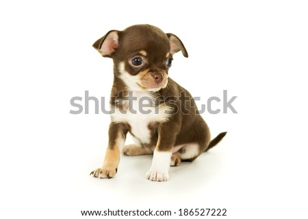 beautiful little chihuahua puppy sitting on the floor - stock photo