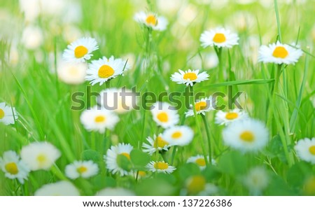 Beautiful little daisy in spring - stock photo