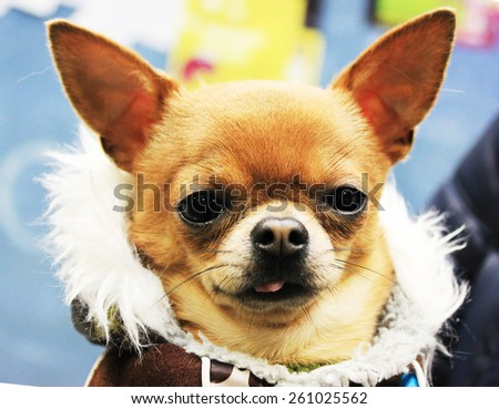 Beautiful little dog dressed in winter clothes. - stock photo