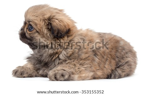Beautiful little fluffy puppy on a white background