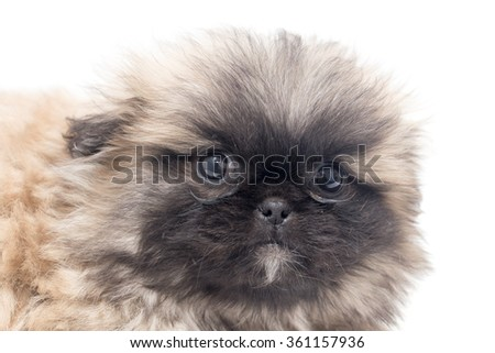 Beautiful little fluffy puppy on a white background - stock photo