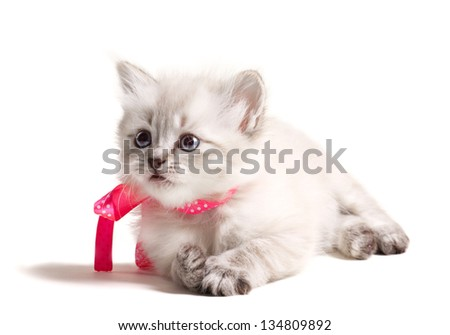 beautiful little furry kitten with pink bow lying isolated on white