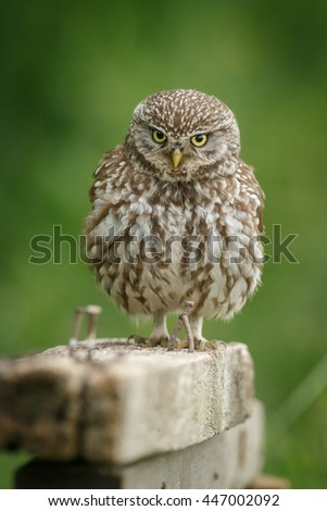Beautiful little owl perched upon a farmyard wood pile - stock photo