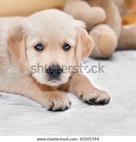 Beautiful little puppy golden retriever - stock photo