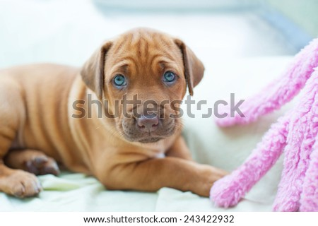 Beautiful little puppy with blue eyes. The little dog is playing with a toy. Image in front of white background. - stock photo