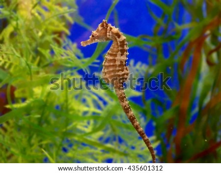 beautiful little seahorse swimming in tropical waters - stock photo