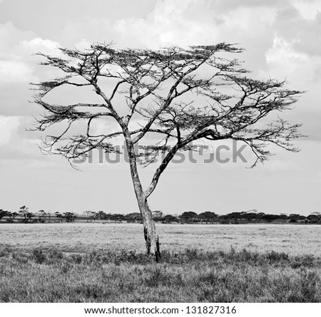 Beautiful lonely tree in Serengeti National Park - Tanzania (black and white) - stock photo
