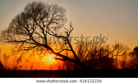 Beautiful lonely trees on the sunset.