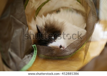 Beautiful Long Haired Bi Color Brown White Ragdoll Cat with Blue Eyes and Black Button Nose Laying in Cat Tunnel - stock photo