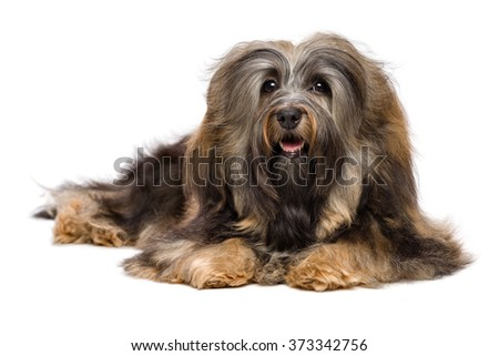 Beautiful long-haired Bichon Havanese dog is lying down and looking at camera, isolated on white background