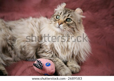 Beautiful long haired cat on maroon background with mouse toy - stock photo
