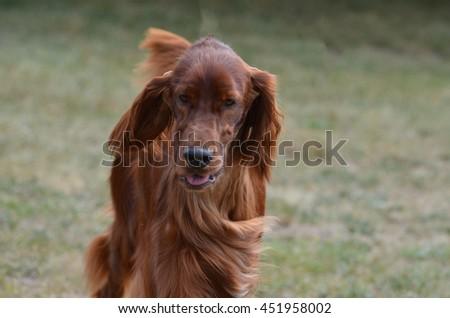 Beautiful long haired dachshund puppy dog. - stock photo