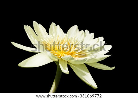 beautiful lotus - stock photo