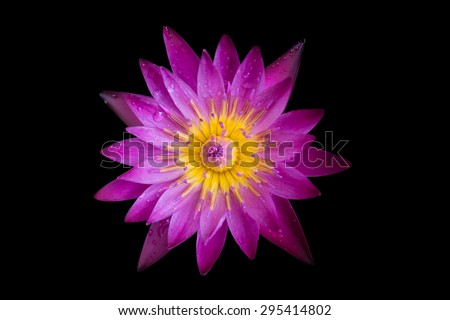 beautiful lotus blooming on black background  - stock photo