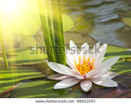 beautiful flower lake lotus stock images, royaltyfree images, Beautiful flower