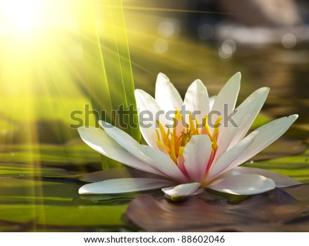 beautiful lotus flower background - stock photo