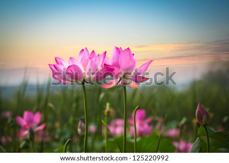 beautiful lotus flower in blooming at sunset