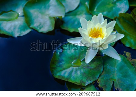 Beautiful lotus flower in blooming on the pond - stock photo