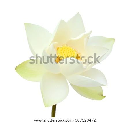 beautiful Lotus flower isolated on white background - stock photo