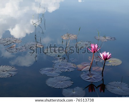 Beautiful lotus flowers and clouds reflect - stock photo