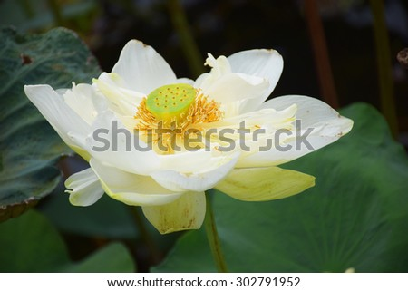 Beautiful lotus for background,