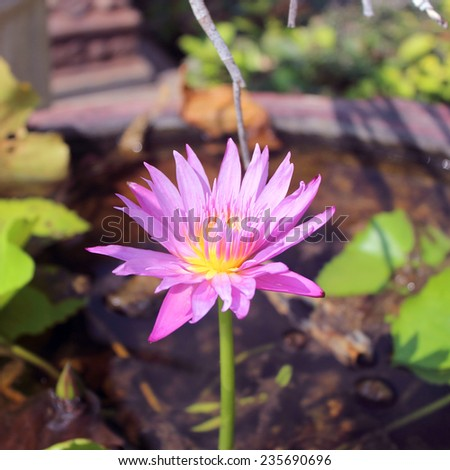 Beautiful lotus in the pond - stock photo