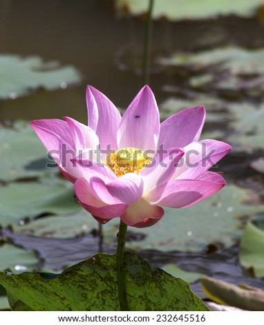 Beautiful lotus in the pond water