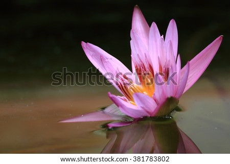 Beautiful lotus in the pond with reflection. - stock photo
