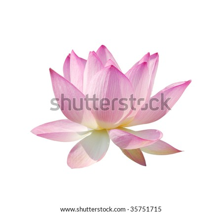 beautiful lotus isolate - stock photo